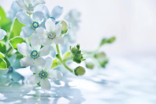 ブルースターの花言葉の意味・由来・誕生花|花言葉のシャルロー