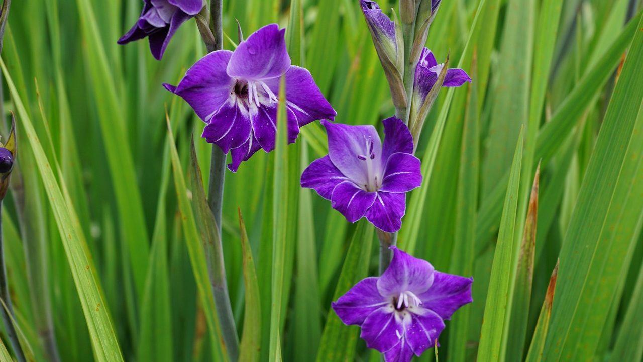 グラジオラスの花言葉の意味・由来・誕生花