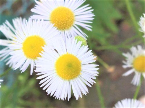 意味 ハルジオン ハルジオンの花言葉|花の特徴や由来、植える場所が大事?|🍀GreenSnap(グリーンスナップ)