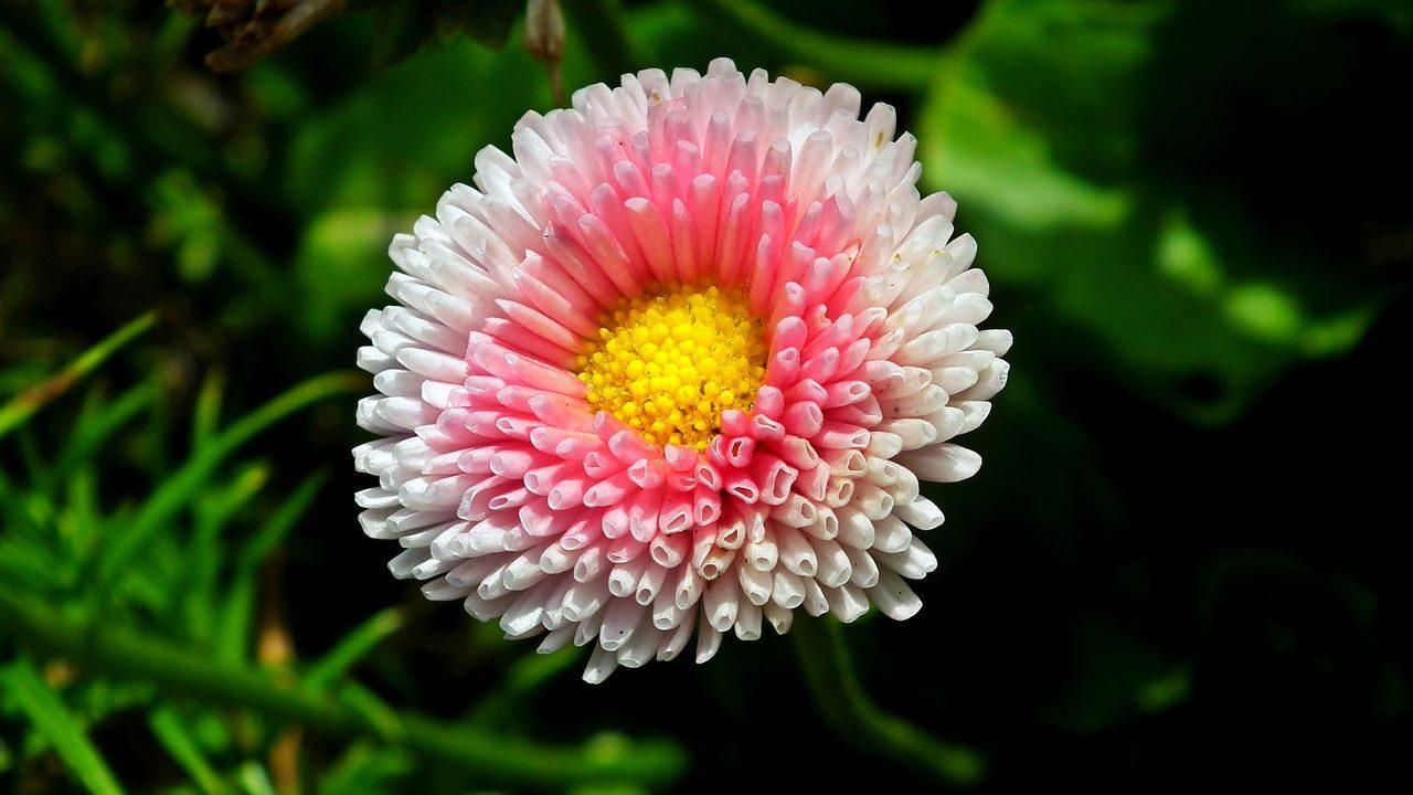 ヒナギク(雛菊・デイジー)の花言葉の由来・意味・誕生花 花言葉の ...